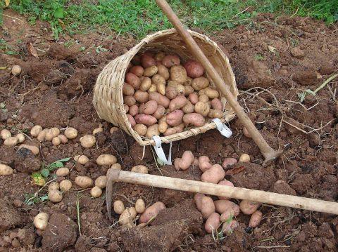 De 1,30€ à 1,80€ le kilo en un an : la hausse vertigineuse du prix des pommes de terre
