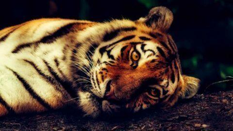 Chine: des milliers d'animaux sauvages abattus au nom de superstitions médicales